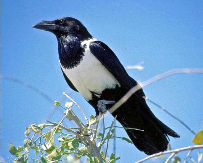 park-narodowy-ttosha-021-wikipedia-Pied_Crow-2