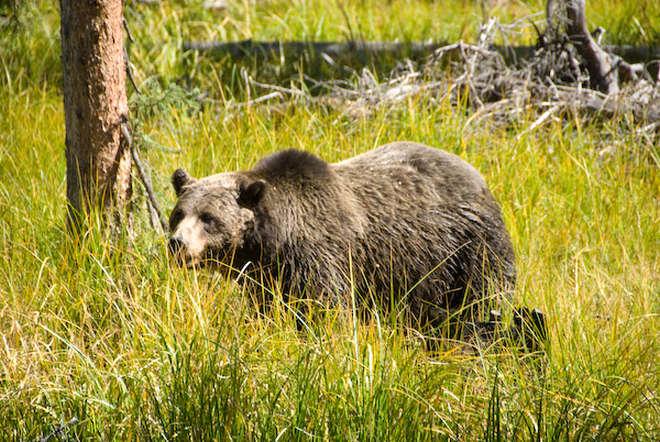 park-narodowy-yellowstone-019-wikipedia-Yellowstone-np-bear